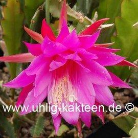 Epiphyllum-Hybr. `Beahm`s Surprise`