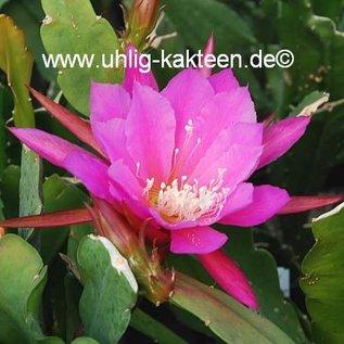 Epiphyllum-Hybr. Triumph von Utrecht