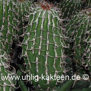 Euphorbia columnaris   Somalia