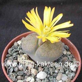 Lithops aucampiae ssp. aucampiae v. aucampiae C 061