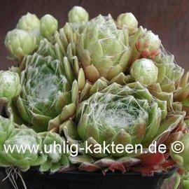 Sempervivum arachnoideum-Hybr.  ´Spätling´     (dw)