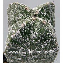 Astrophytum myriostigma  cv. Hakuun quadricost.  gepfr.