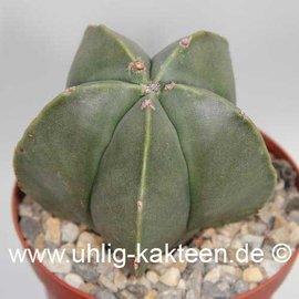 Astrophytum myriostigma v. nudum  (Semillas)