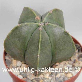 Astrophytum myriostigma  v. nudum      (Samen)