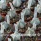 Astrophytum myriostigma cv. Onzuka  (Semillas)