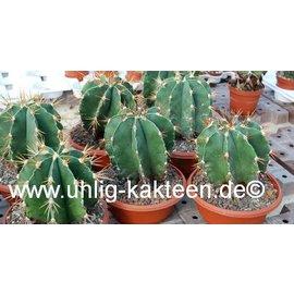 Astrophytum ornatum   (Semillas)