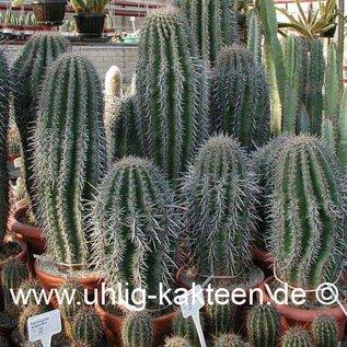 Carnegiea gigantea        (Samen)