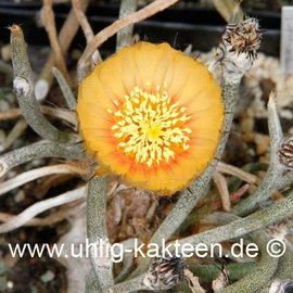Digitostigma caput-medusae   (Samen)