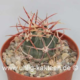 Echinocactus parryi   (Semillas)