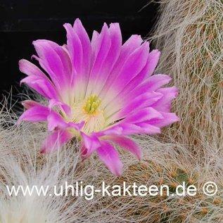 Echinocereus delaetii   (Samen)