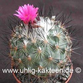 Gymnocactus viereckii neglectus L 1159 # (Semillas)