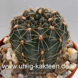 Gymnocalycium andreae v. longispinum WK 108 (Samen)