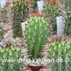 Marshallocereus thurberi   (Semillas)