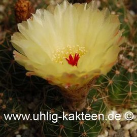 Notocactus incomptus   (Samen)