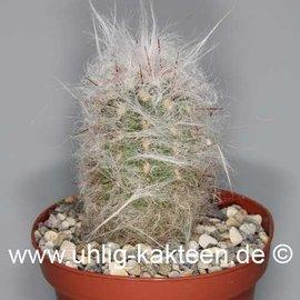 Oreocereus trollii   (Semillas)