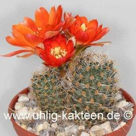 Rebutia christinae  WR 492a (Samen)