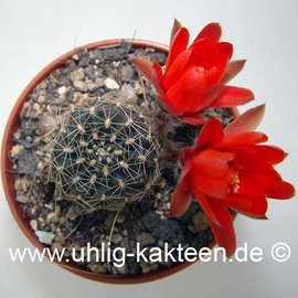 Rebutia euanthema v. andina WR 700 a (Semillas)