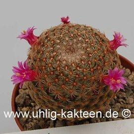 Mammillaria huitzilopochtli   (Samen)