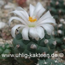 Turbinicarpus lophophoroides    (Samen)  (CITES)