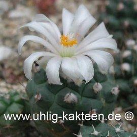 Turbinicarpus lophophoroides  # (Semillas)