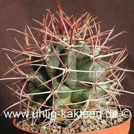 Ferocactus acanthodes   (Semillas)