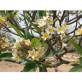 Plumeria-Hybr. ´Fragant Gold´ ´Frangipani´  ´Frangipani´ Blüte außen weiß, innen gelb / white, yellow eye