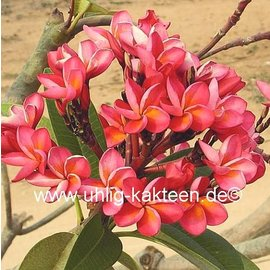Plumeria-Hybr. Royal Red  Frangipani