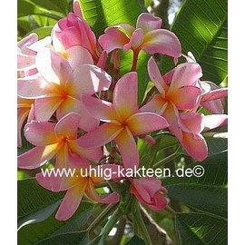 Plumeria-Hybr. Wamae Beauty  Frangipani