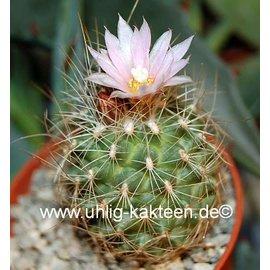 Gymnocactus knuthianus   Villar   CITES