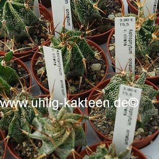 Astrophytum ornatum  v. virens