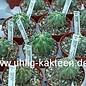 Copiapoa carrizalensis  WK 773