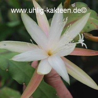Disophyllum-Hybr. `Korbinian`