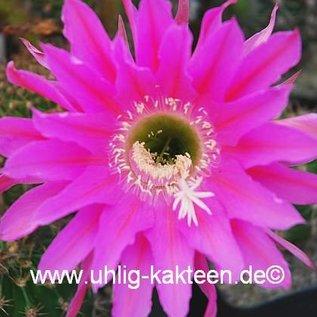 Echinopsis-Hybr. `Maria Piazza`  Schick Hybride