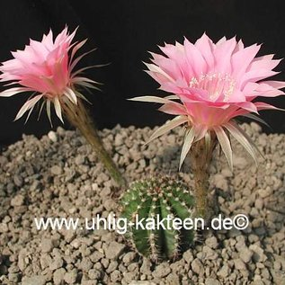 Echinopsis-Hybr. Passo CM 32 Portugal