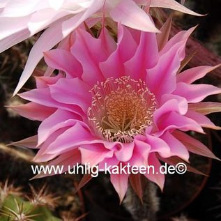 Echinopsis-Hybr. `Passo CM 32 Portugal`