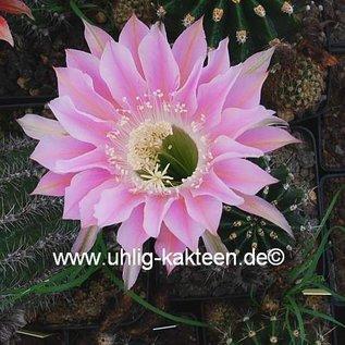 Echinopsis-Hybr. `Waltraud`    Blüte rosa-orange