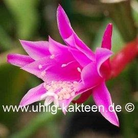 Epiphyllum-Hybr. Clair Paetz (Disocactus quesaltecus x Cleo Paetz)