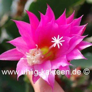 Epiphyllum-Hybr. Cleopatra Paetz