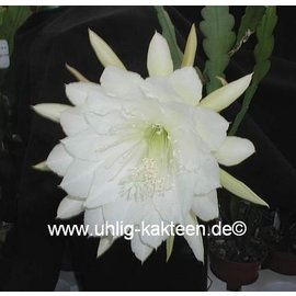 Epiphyllum-Hybr. `College Queen`