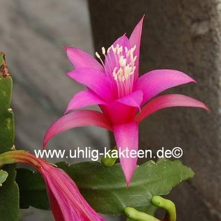 Epiphyllum-Hybr. Delicate Jewels