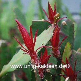 Epiphyllum-Hybr. `Elisabeth Paetz`