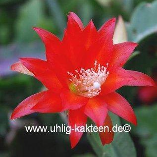 Epiphyllum-Hybr. Gabi Paetz (Claire Paetz x Pitti Paetz)