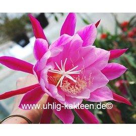 Epiphyllum-Hybr. `Melanie Paetz`
