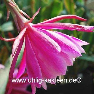 Epiphyllum-Hybr. `Melanie Paetz`  (Alfred Paetz x Mylady)