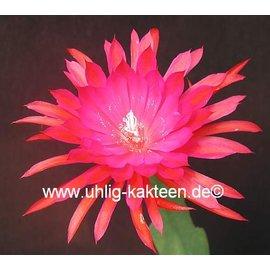 Epiphyllum-Hybr. `Ruby Pinwheel`