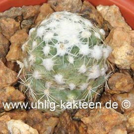 Pediocactus bradyi  ssp. winklerorum   gepfr.  CITES (dw)