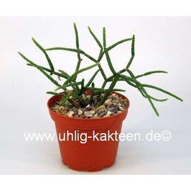 Rhipsalis baccifera  ssp. horrida