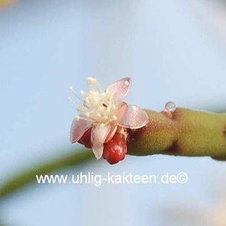 Rhipsalis pacheco-leonis