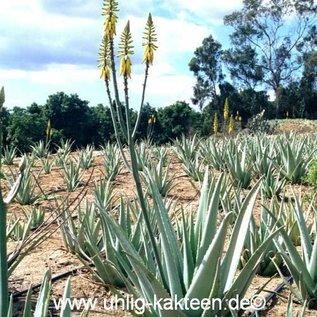 Aloe vera syn. barbadensis HEILALOE  XL -30 %