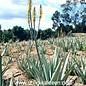 Aloe vera HEILALOE  XL syn. barbadensis HEILALOE  XL